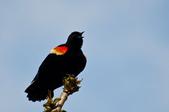 Red-Winged Blackbird Calling With a Trill. While Perched on the End of a Branch Royalty Free Stock Photo