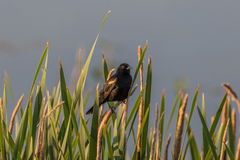 Red Winged Blackbird on Cattail Royalty Free Stock Photos