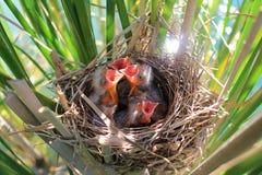 Red-winged blackbird chicks stock image