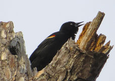 Red-winged Blackbird Chirping Stock Photo