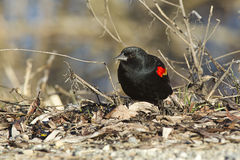 Red winged blackbird. Stock Image