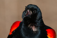 Red-winged Blackbird. Close-up of a male Red-winged Blackbird calling out his territory Stock Images