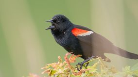 Red-winged blackbird closeup portrait - perched and calling / communicating in the Minnesota Valley Wildlife Refuge royalty free stock photo