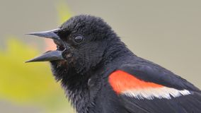 Red-winged blackbird closeup portrait - perched and calling / communicating in the Minnesota Valley Wildlife Refuge royalty free stock image