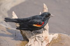 Red-winged blackbird closeup portrait - perched in the Minnesota Valley Wildlife Refuge royalty free stock images
