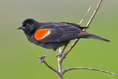 Red-winged blackbird closeup portrait - perched in the Minnesota Valley Wildlife Refuge royalty free stock photos