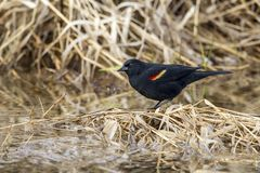 Red-winged blackbird on clump of grass. Royalty Free Stock Photography