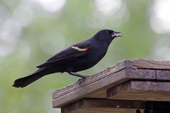 Red-winged Blackbird Eating Royalty Free Stock Images