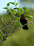 Red-winged Blackbird eating a worm Royalty Free Stock Photography