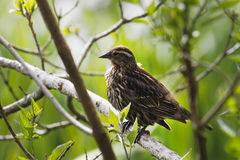 Red-Winged Blackbird Female. In Crystal Springs Rhododendron Garden Stock Photo