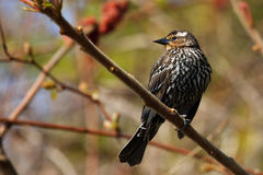 Red-winged Blackbird Female. Perched In Tree Profile Stock Images