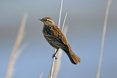 Red-winged Blackbird Female Stock Image