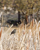 Red-Winged Blackbird Female. A female Red-Winged Blackbird sitting on a branch in a field stock photo
