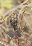 Red winged blackbird female Stock Photography