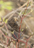 Red winged blackbird female Stock Photo