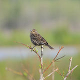 Red-winged Blackbird, female. Red-winged Blackbird, female (Agelaius phoeniceus). Vermilion lakes. Banff National park. Canada Stock Photos