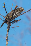 Red-winged Blackbird Royalty Free Stock Photos