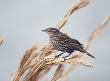 Red-Winged Blackbird female Royalty Free Stock Image