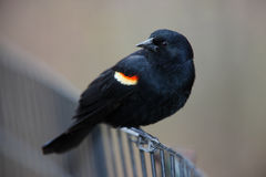 Red-winged Blackbird on fence. Red-winged Blackbird (Agelaius phoeniceus phoeniceus), male sitting on wire fence Stock Images