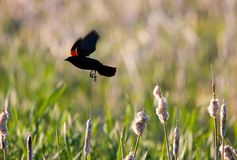 Red Winged Blackbird in flight Royalty Free Stock Photography
