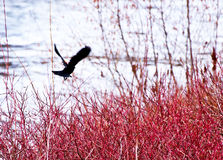 Red-winged Blackbird in Flight. A Red-winged Blackbird (Agelaius phoeniceus) flying over the river royalty free stock photography