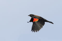Red-winged Blackbird in flight Stock Image