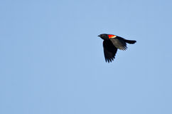 Red-Winged Blackbird in Flight Royalty Free Stock Images