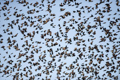 Red-winged Blackbird Flock in Flight In a Blue Sky Royalty Free Stock Images