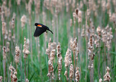 Red-Winged Blackbird Flying over Cattails. Male Red-Winged blackbird (Agelaius phoeniceus) flies over previous years cattails   and new green growth in a marsh Royalty Free Stock Images