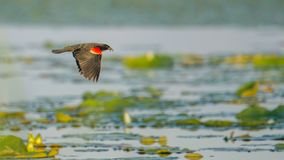 Red-winged blackbird flying over the lily pads on a lake - summertime in the Crex Meadows Wildlife Area in Northern Wisconsin stock images