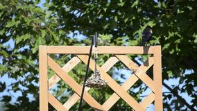 Red-winged Blackbird on a hanging feeder Stock Image