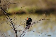 Red-winged Blackbird. Red-winged Blackbird hiding in the spring bush Royalty Free Stock Images