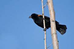 Red-Winged Blackbird Holding Captured Insect Royalty Free Stock Image