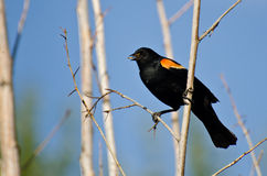 Red-Winged Blackbird Holding Captured Insect Stock Photography
