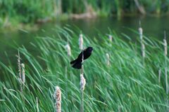 Free Red Winged Blackbird Holding On To A Cat Tail On A Windy Day Near River Bank Stock Photography - 207378172