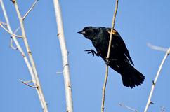 Red-Winged Blackbird Hopping To New Branch Royalty Free Stock Photos