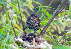 Red-winged blackbird hovers over babies Stock Photos