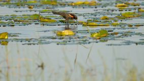 Red-winged blackbird hunting / feeding on the lily pads in a lake in the summer - Crex Meadows Wildlife Area in Northern Wisconsin royalty free stock photos