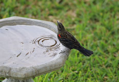 Red-winged Blackbird - immature male Royalty Free Stock Photo