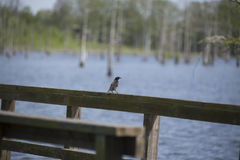 Red-Winged Blackbird. Immature male red-winged blackbird perched on a lakeside boardwalk Royalty Free Stock Photography