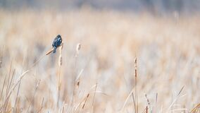 Free Red-winged Blackbird In A Sea Of Cattails - Late Winter / Early Spring - Migration - Recently Arrived At Wood Lake Nature Center I Royalty Free Stock Images - 173669229