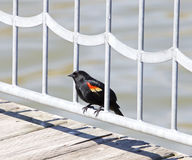 The red-winged blackbird Royalty Free Stock Photos