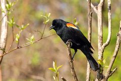 Red-winged Blackbird Male. Looking Down Perched In Tree Royalty Free Stock Images