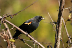 Red-winged Blackbird Male Stock Photos