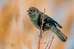 Red-winged Blackbird Male Royalty Free Stock Images