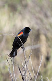 Red-winged Blackbird male. Red-winged Blackbird (Agelaius phoeniceus Royalty Free Stock Photos