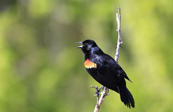Red-winged Blackbird male. Red-winged Blackbird (Agelaius phoeniceus Stock Images