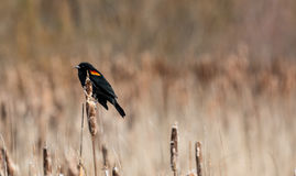 Red Winged Blackbird. A male Red Winged Blackbird  Agelaius Phoeniceus  sits on a cattail hoping to find a mate Stock Photography
