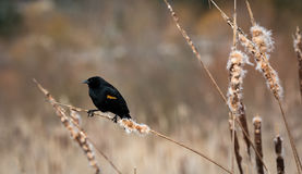 Red Winged Blackbird. A male Red Winged Blackbird  Agelaius Phoeniceus  sits on a cattail hoping to find a mate Royalty Free Stock Photography