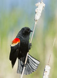Red winged blackbird male Stock Photo